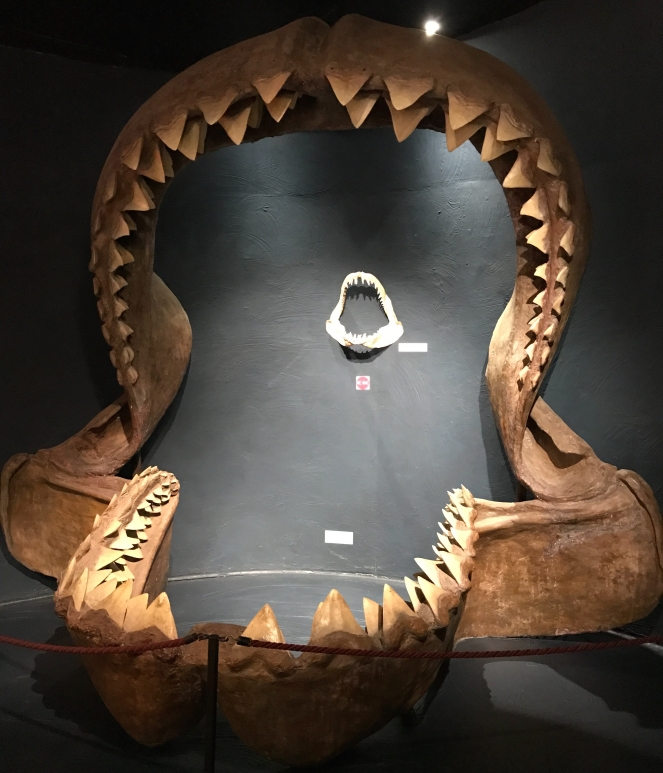 Buzymum - Reconstructed jaw of a Megalodon
