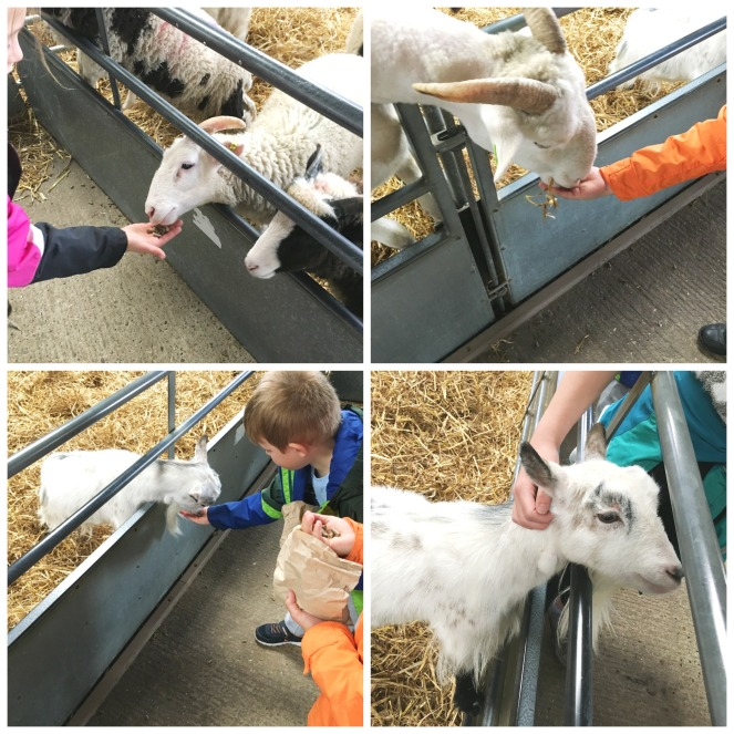 Buzymum - Feeding the sheep and goats at odds farm