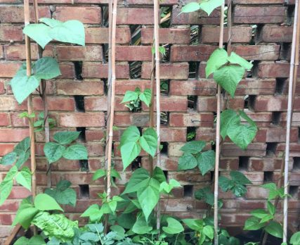 Buzymum - Our french beans are growing well