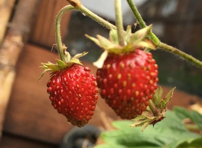 Buzymum - our home grown wild strawberries